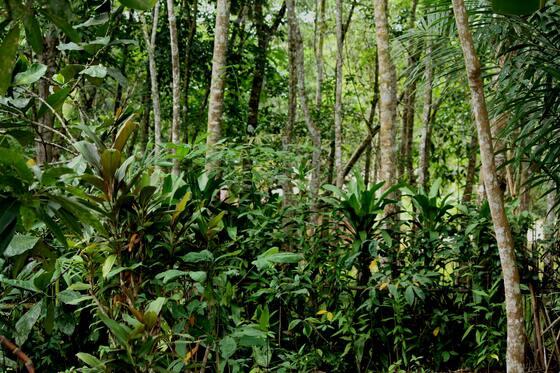 rubber-tree-plant