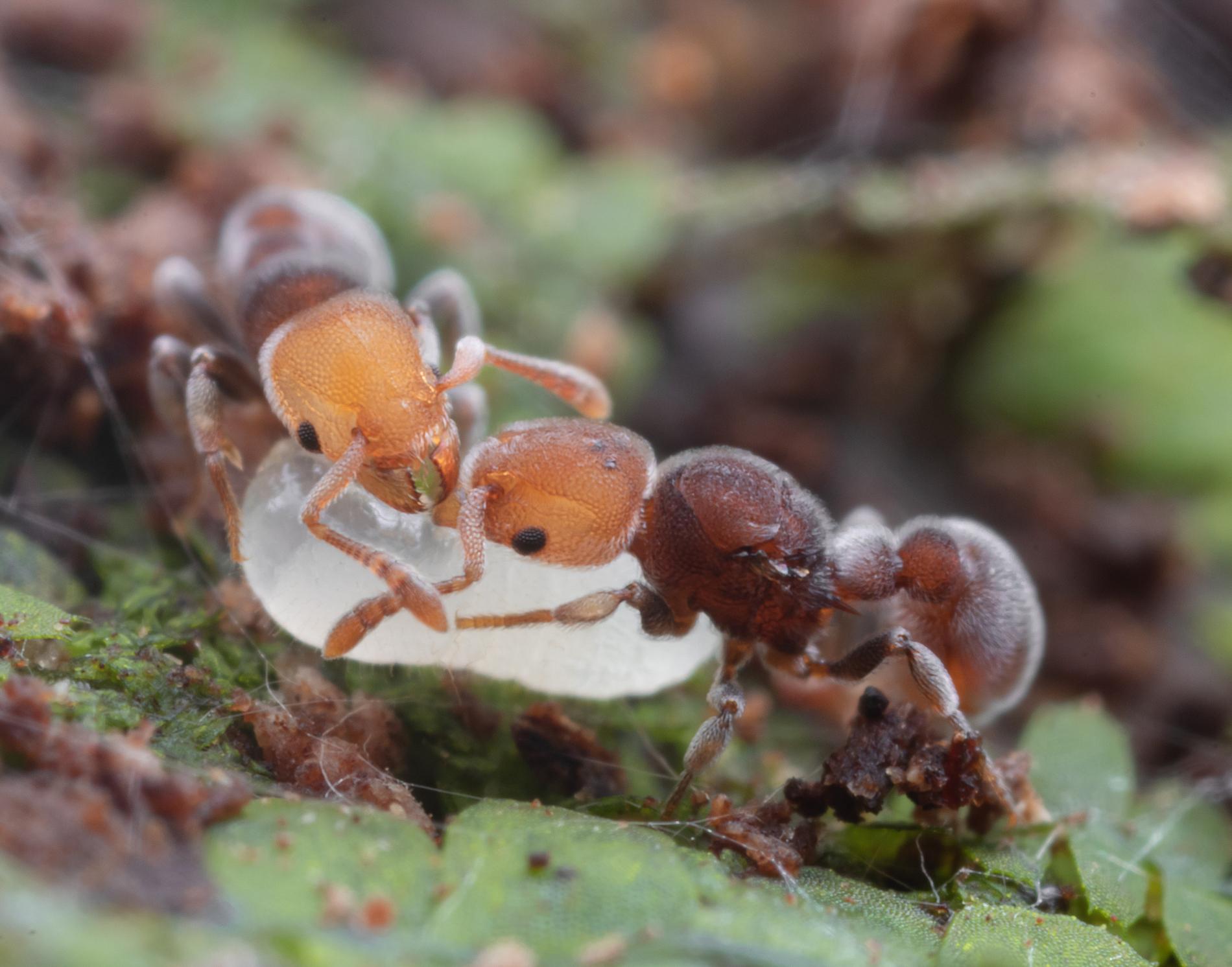 Jak se studuje hmyz v Tichomoří?